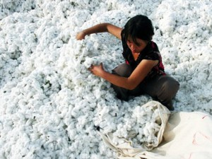 Fashion set to become dearer as Cotton Prices hit record