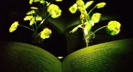 Glowing plants won't just reduce CO2 but also spread light