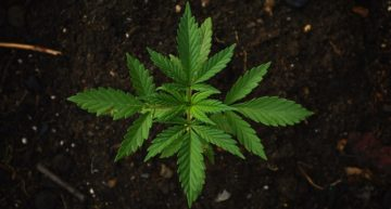 Cannabis Entrepreneurs Exploit Legal Loopholes for IP Protection